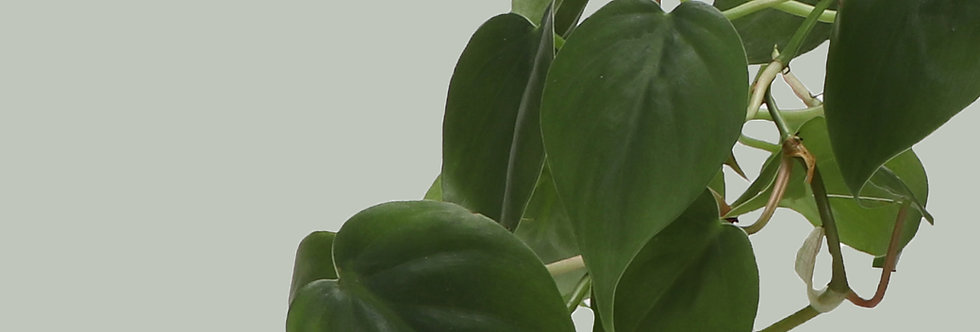 Philodendron Hederaceum, Green Heartleaf Philodendron