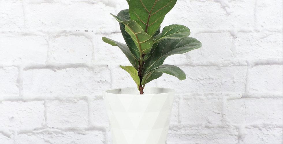Ficus Lyrata, Fiddle Leaf Fig in Modern White Planter