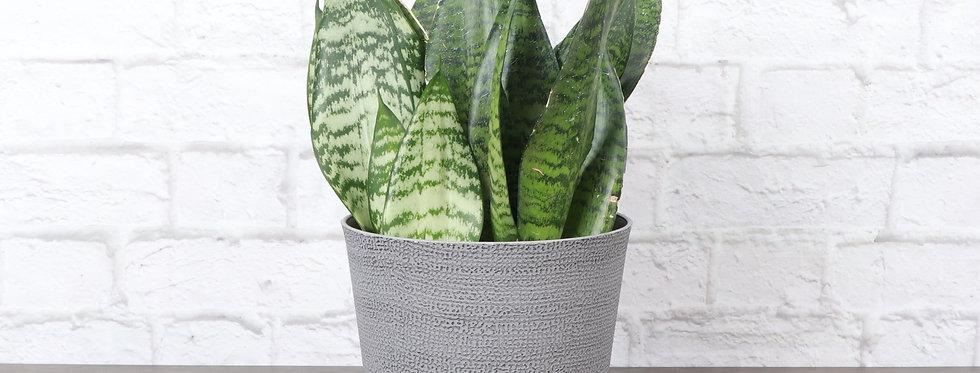 Sansevieria Zeylancia, Snake Plant in Classic Gray Pot