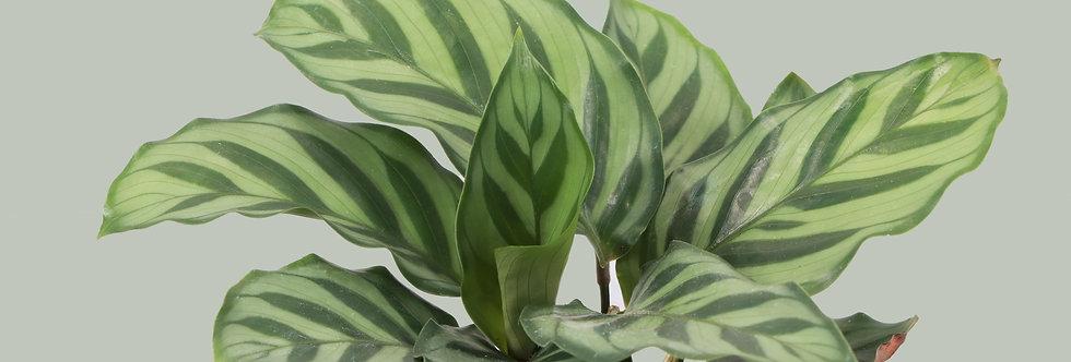Calathea Concinna, Freddie Calathea Plant