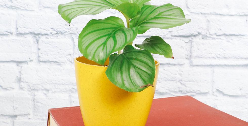 Calathea Orbifolia in Eco Pot