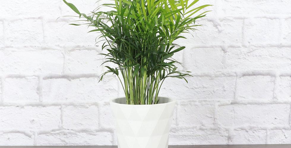 Chamaedorea Elegans, Parlor Palm in Modern White Planter