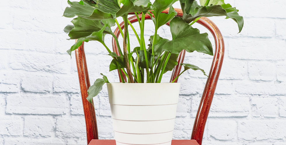 Thaumatophyllum Bipinnatifidum, Philodendron Hope in Contemporary Pot
