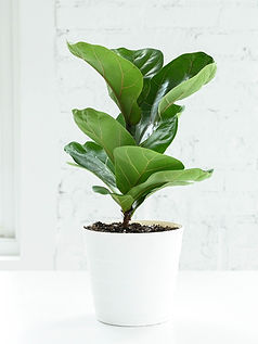 A fiddle leaf fig plant in a white pot