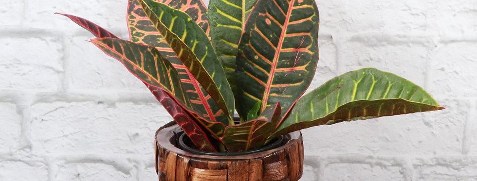 Codiaeum Variegatum, Petra Croton Plant in Banana Leaf Basket