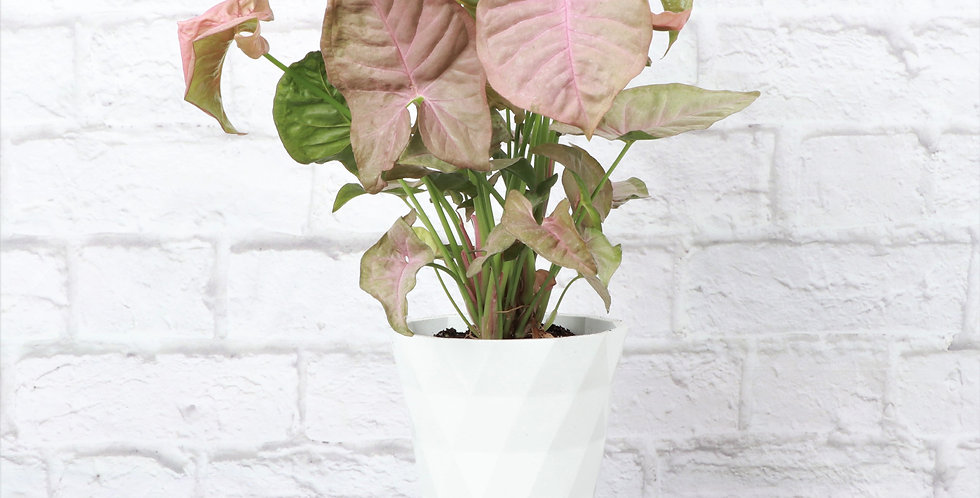 Syngonium podophyllum 'Pink Allusion', Butterfly Plant in Modern White Planter