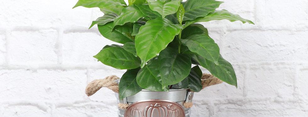 Coffee Plant, Pumpkin Pot