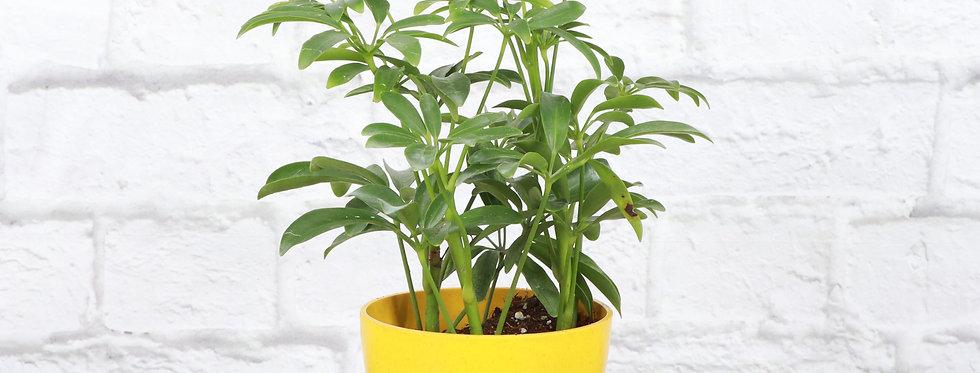 Schefflera Arboricola, Umbrella Tree Plant in Eco Pot