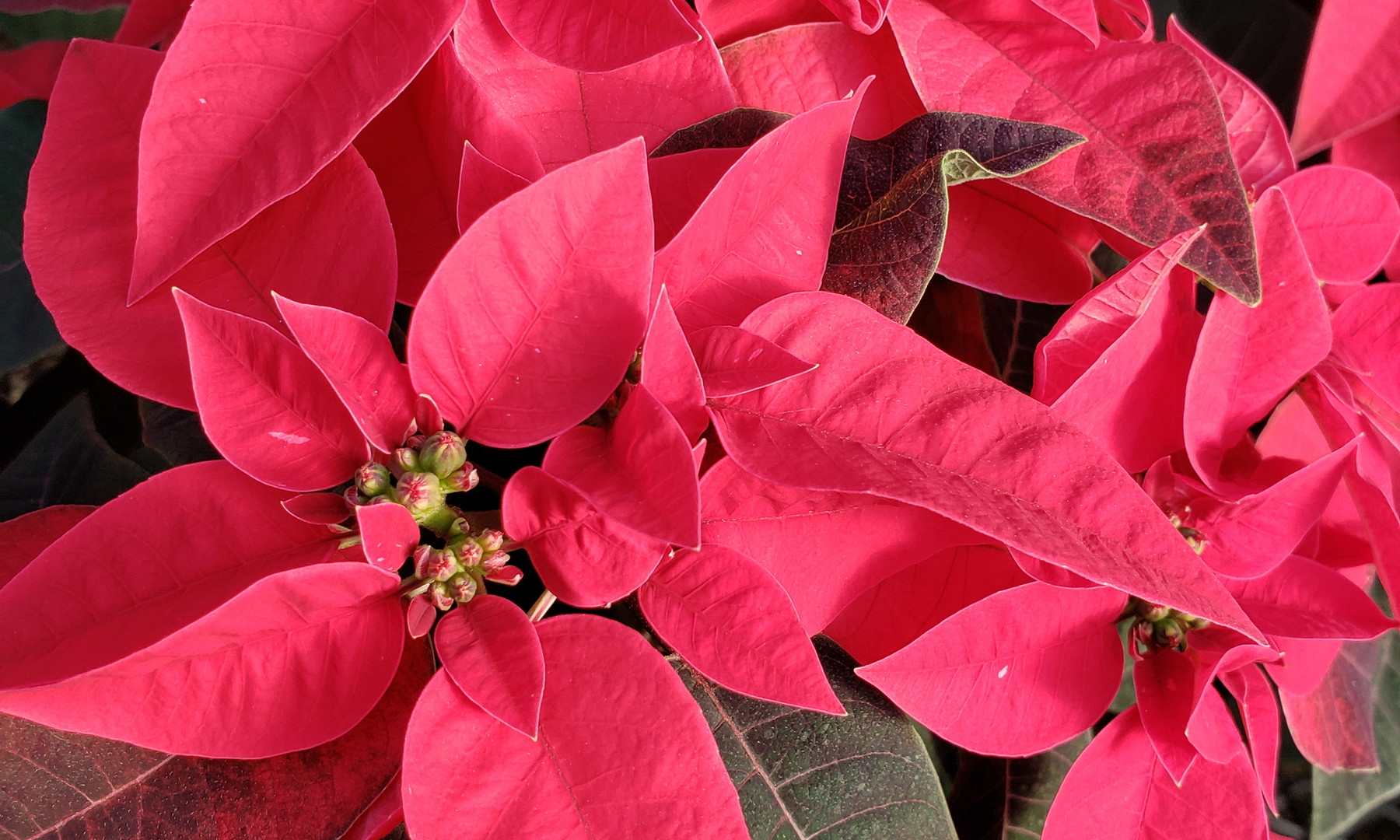 Princettia Red Poinsettia