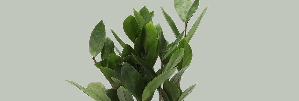 Zamioculcas Zamiifolia, ZZ Plant
