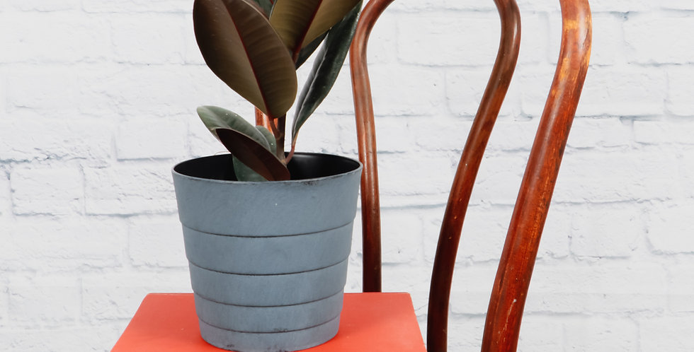 Ficus Elastica, Burgundy Rubber Plant in Contemporary Pot