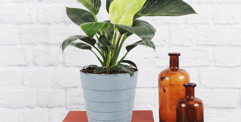 Philodendron 'Birkin' in Contemporary Pot