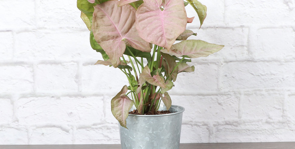 Syngonium podophyllum 'Pink Allusion', Butterfly Plant in Galvanized Steel Pot
