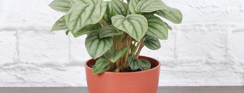Peperomia Caperata, Peperomia Frost in Eco Pot