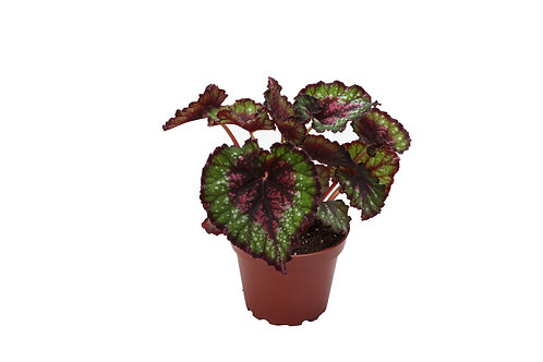 4 Rex Begonia Assortment