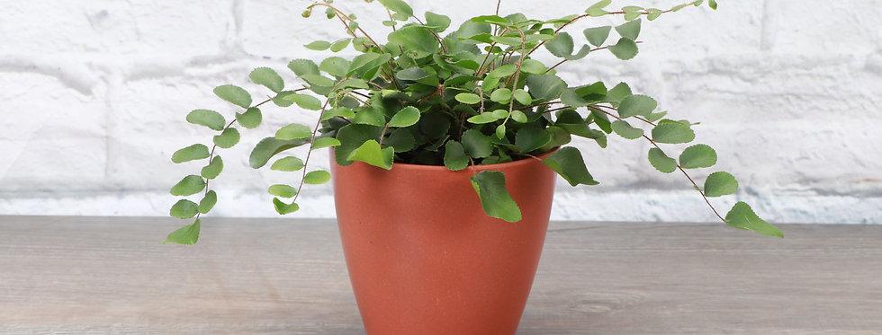 Pellaea Rotundifolia, Button Fern in Eco Pot