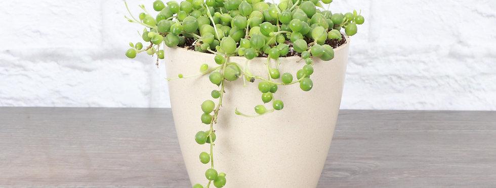 Senecio Rowleyanus, String of Pearls in Eco Pot