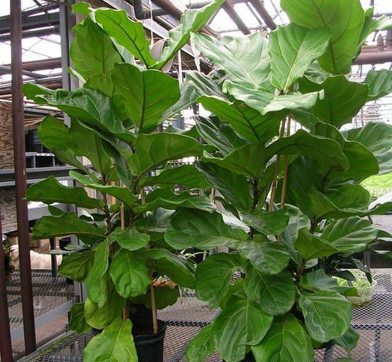 Fiddle Leaf Fig