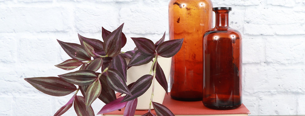 Tradescantia Zebrina, Purple Joy in Eco Pot