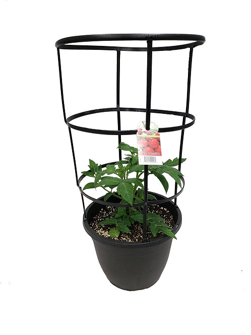 "12"" Patio Tomato with Cage"