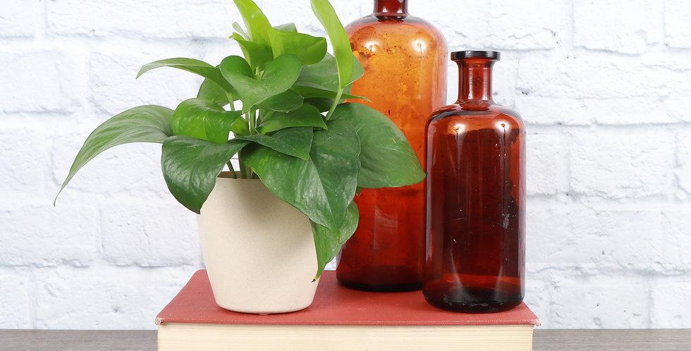Epipremnum Aureum, Jade Pothos in Eco Pot