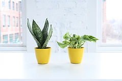 A Snake plant and a Pothos plant in yellow pots
