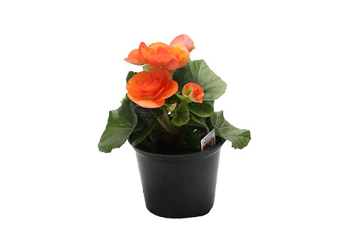 Reiger Begonias, Small