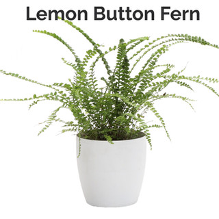 Lemon Button Fern