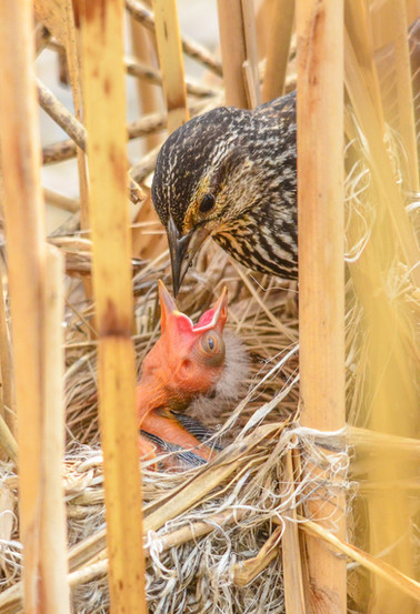 Red-winged Blackbird feeding young