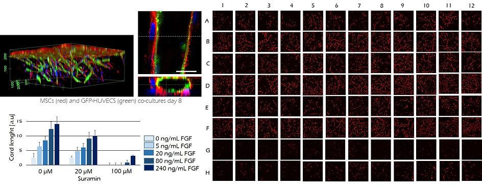 ENDOTHELIAL CELLS.jpg