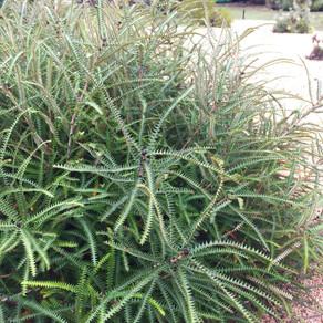 Banksia dryandroides (Dryandra-leaved Banksia)