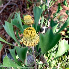 Isopogon trilobus (Barrel Cone Flower)