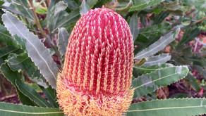 Banksia menziesii (Dwarf Form)