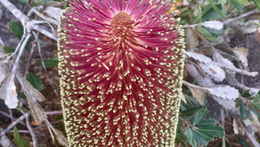 Banksia praemorsa (Burgundy)