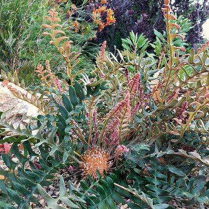 Banksia alliacea (Syn. Dryandra nervosa)