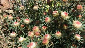 Banksia carlinoides (Dryandra carlinoides)