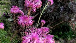Isopogon formosus (Rose Coneflower)
