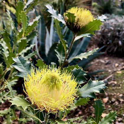 Banksia undata (Syn. Dryandra praemorsa)