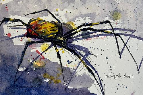 Cameron Berglund: Joro Spider (trichonephila clavata)