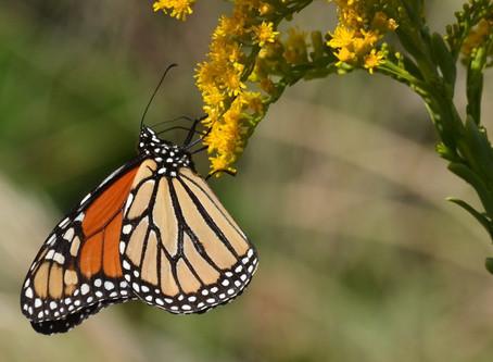 Monarch Migration Superhighway