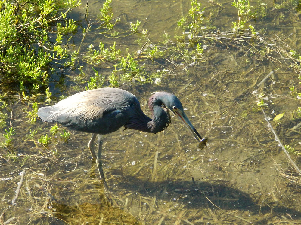 Tricolored Heron taking advantage of the small fish brought in by the tides.