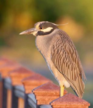 Yellow-crowned night heron.jpg