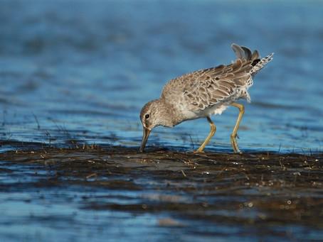 Shorebirds Coming Through!