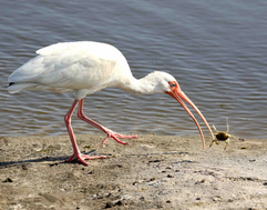 White Ibis with Crab.png