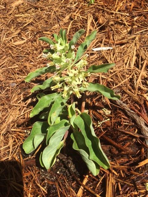 Zizotes Milkweed (Asclepias oenotheroides)