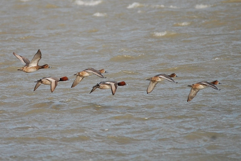 Redheads in flight over the Laguna Madre