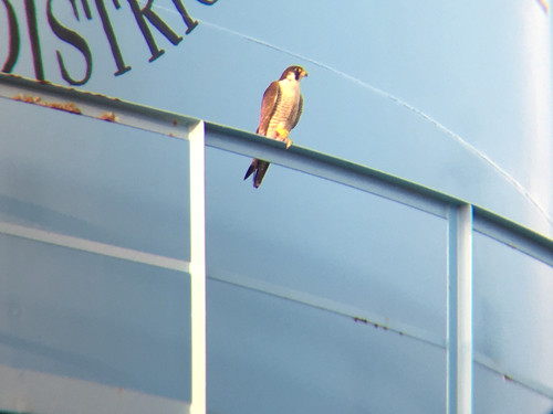 Peregrine Falcon on the neighboring water tower