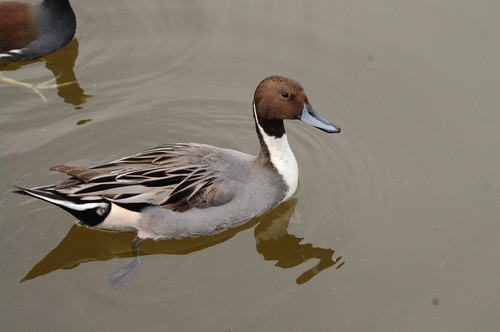 A handsome drake Northern Pintail