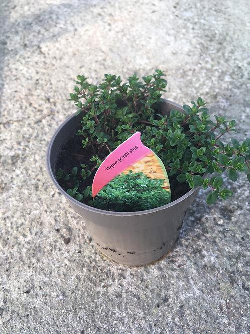 Buy 9cm Herb Thyme Prostratus