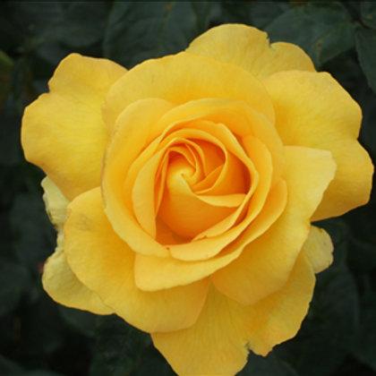 Buy Rose - Keep Smiling (Floribunda)